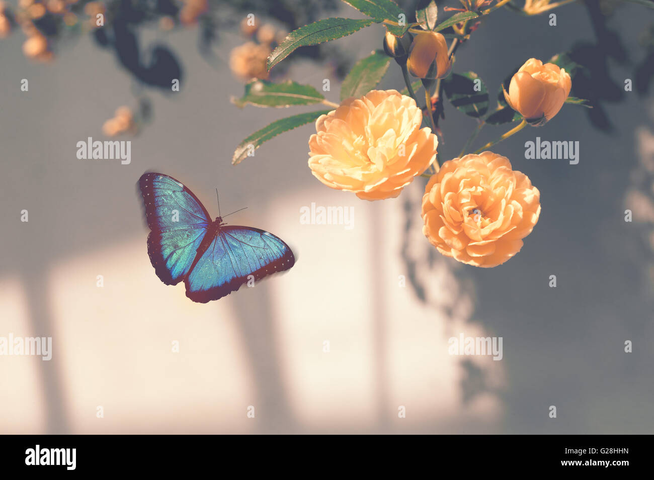 Morpho blue butterfly flying toward blossoming yellow flowers with warm tone filter - Stock Image