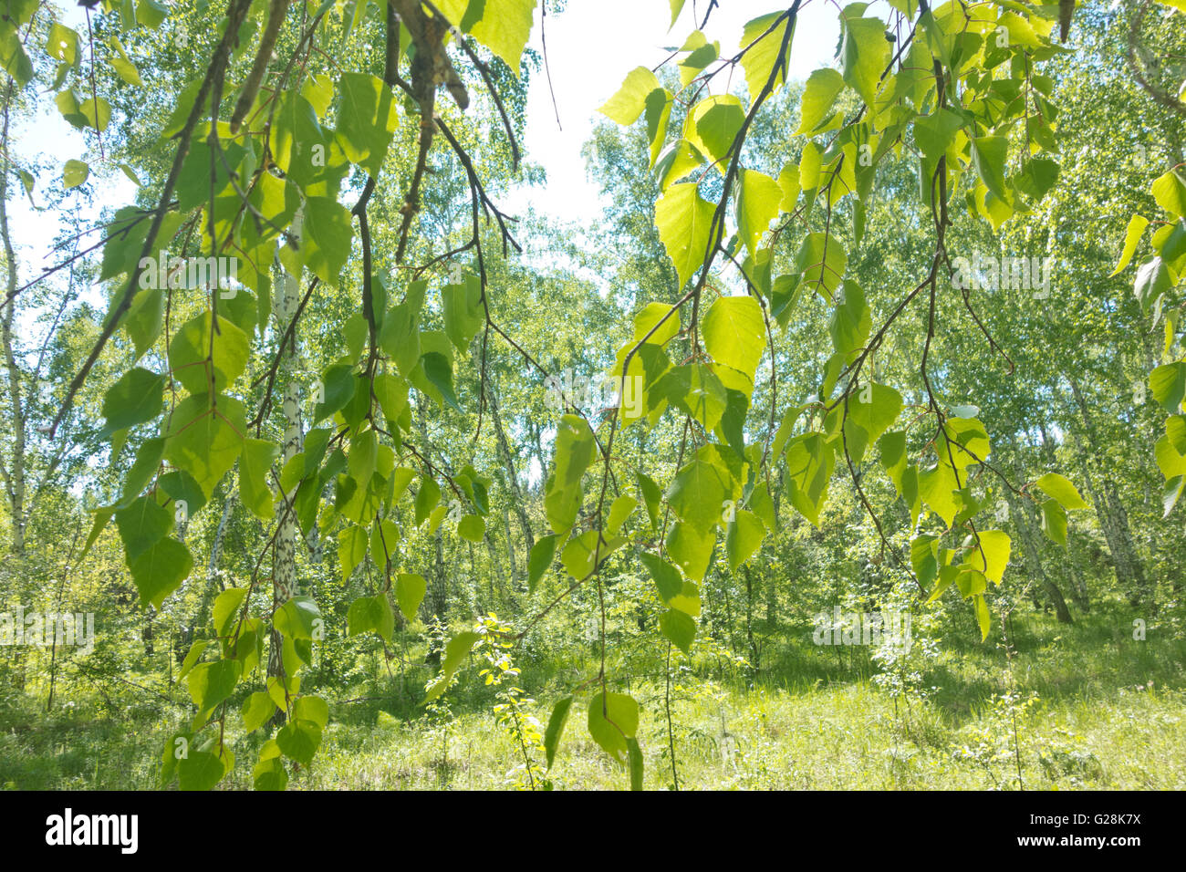 birch leaves against summer forest - Stock Image