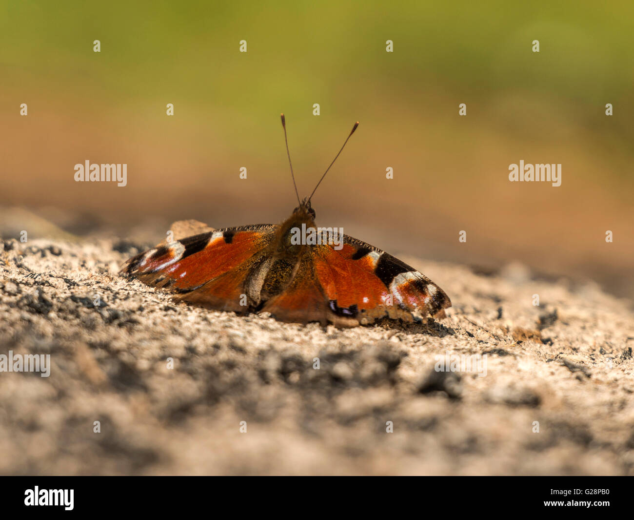 Beautiful Peacock Butterfly (Aglais io) depicted resting tentatively on remnant ashes from an overnight camp fire. - Stock Image