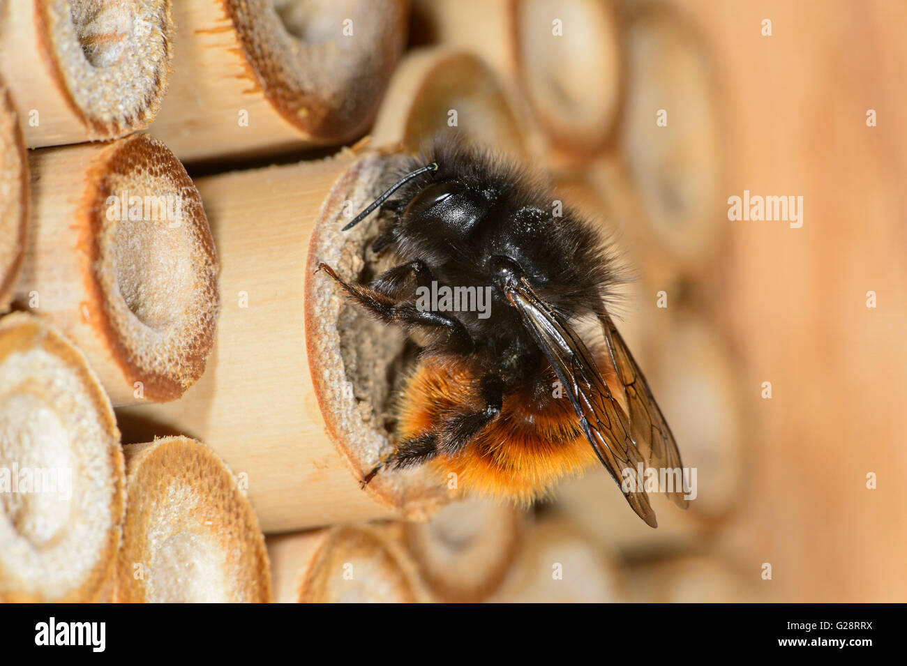 Hornfaced bee (Osmia cornuta), cloing the breeding tunnel, Bee Hotel, artificial breeding site, Switzerland Stock Photo