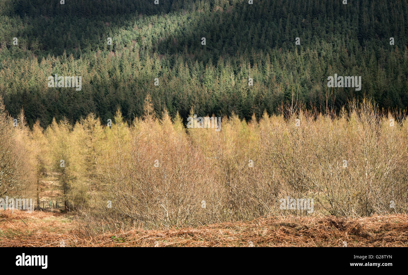 Pine trees in a woodland,Ireland - Stock Image