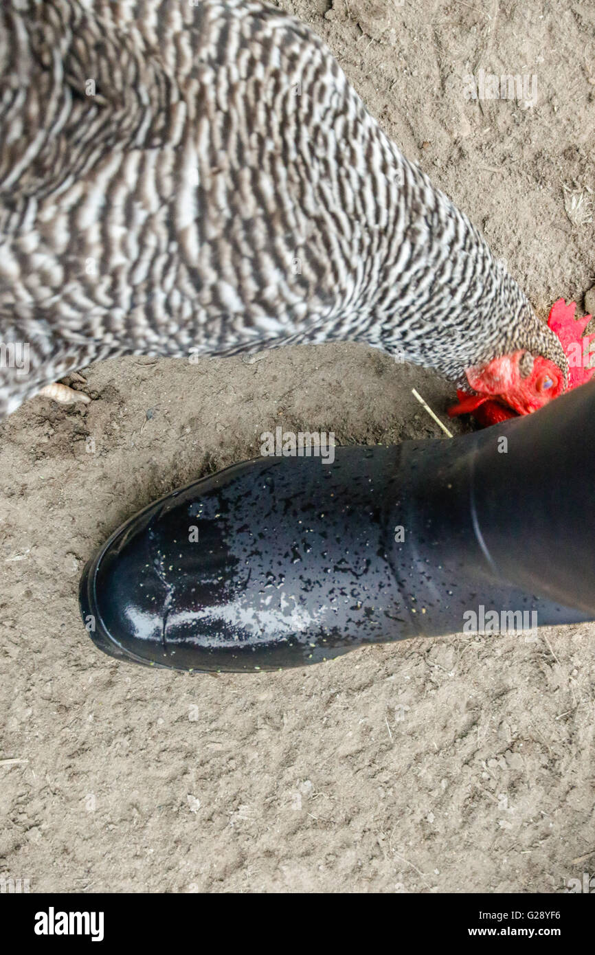 Chickens curious about boots - Stock Image