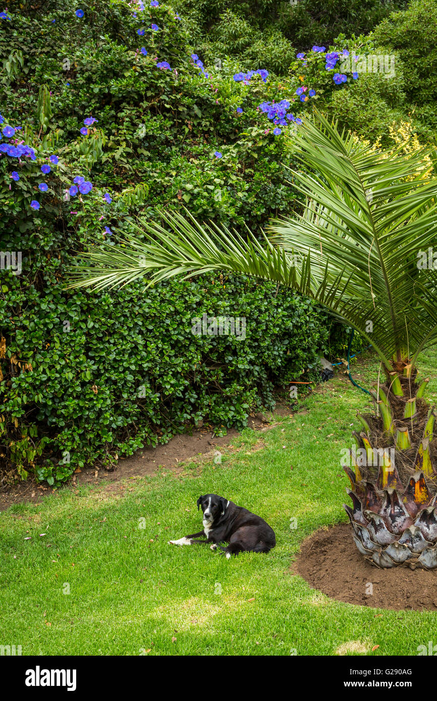 A black dog in the gardens of Vina del Mar, Chile, South America. - Stock Image