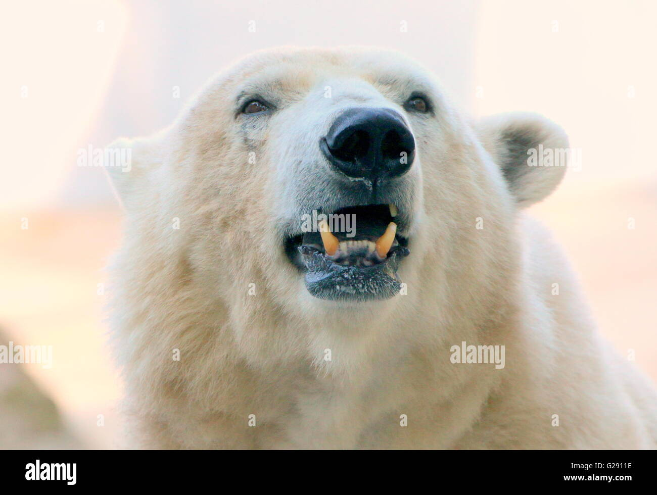 Close up of the head of a growling mature male polar bear (Ursus maritimus), low point of view - Stock Image