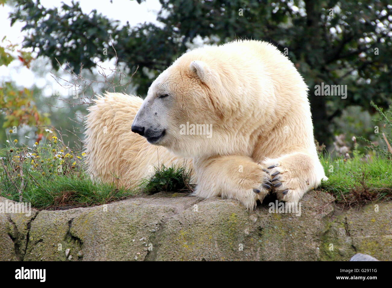 Mature male polar bear (Ursus maritimus) chilling out, paws folded - Stock Image