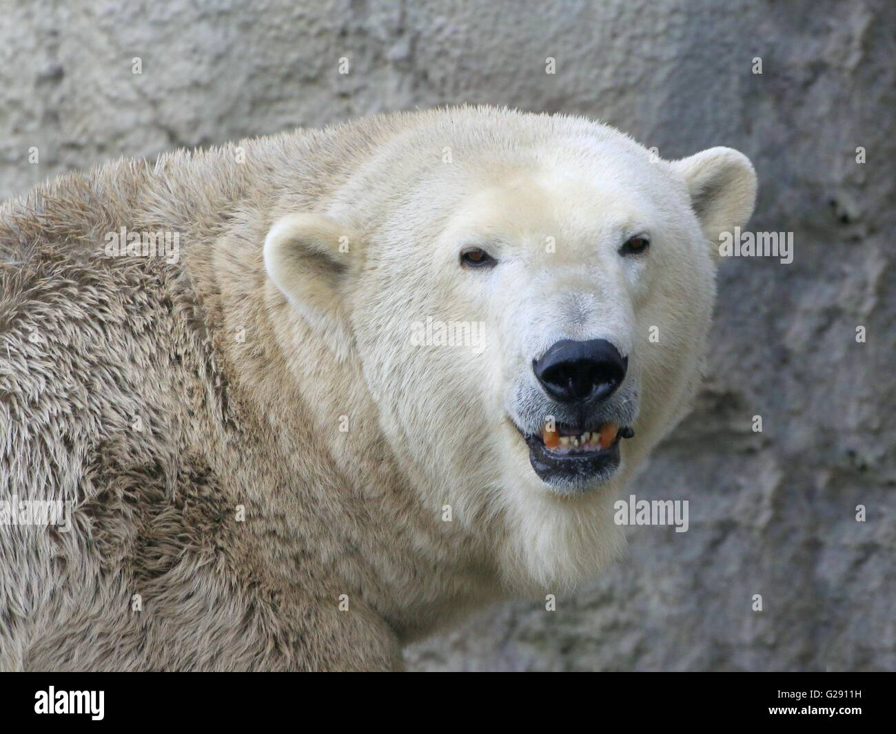 Closeup of the head of a mature male polar bear (Ursus maritimus) snarling and baring teeth, facing the camera - Stock Image
