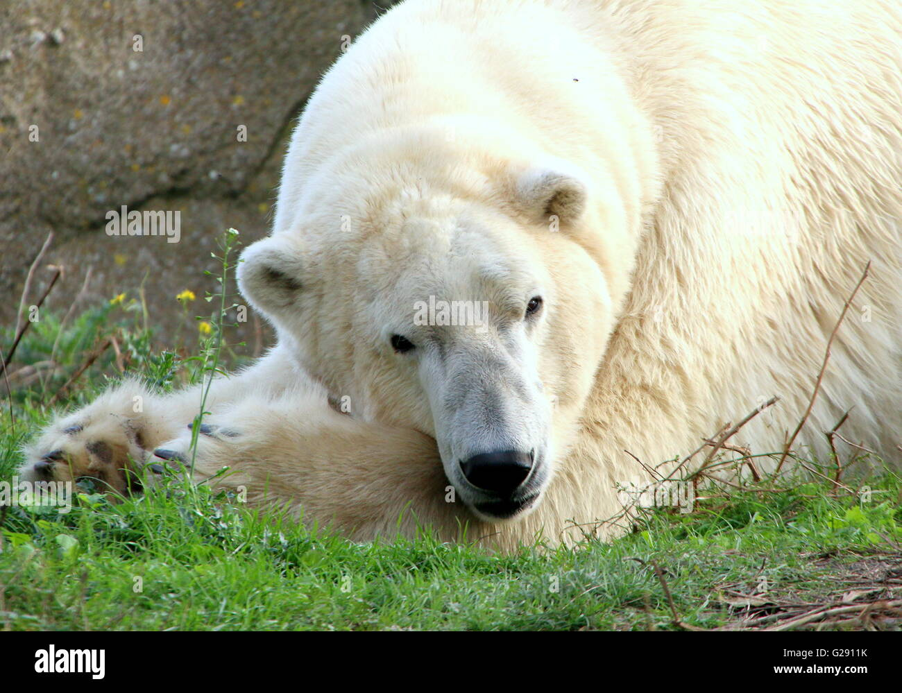 Mature male polar bear (Ursus maritimus) chilling out, paws folded, lying down. - Stock Image