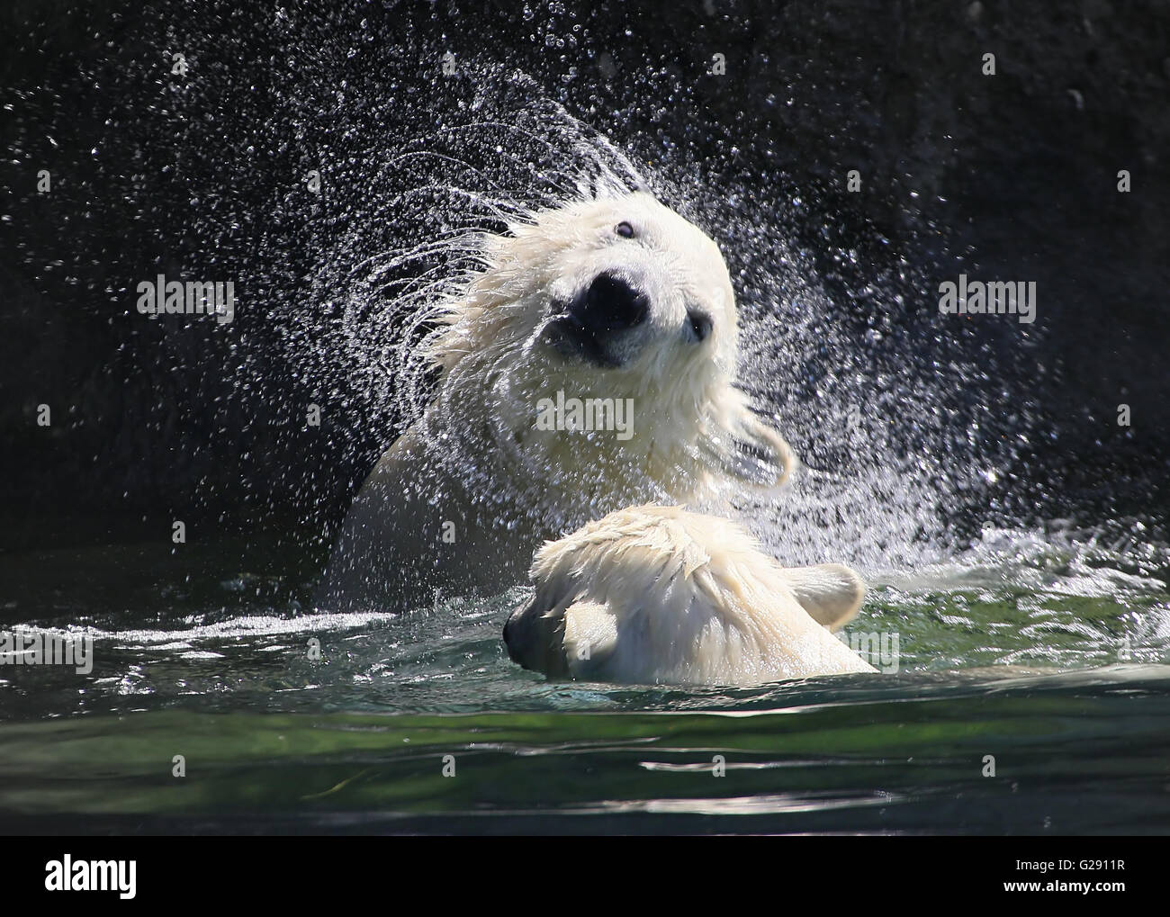 Polar bear cub (Ursus maritimus) shaking off the excess water from his fur, creating a swirl of water droplets - Stock Image