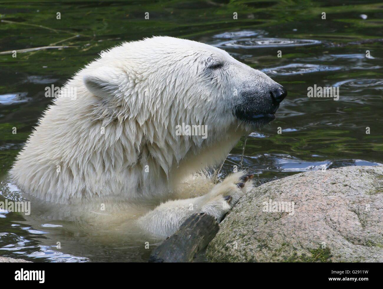 polar bear head paws stock photos polar bear head paws stock