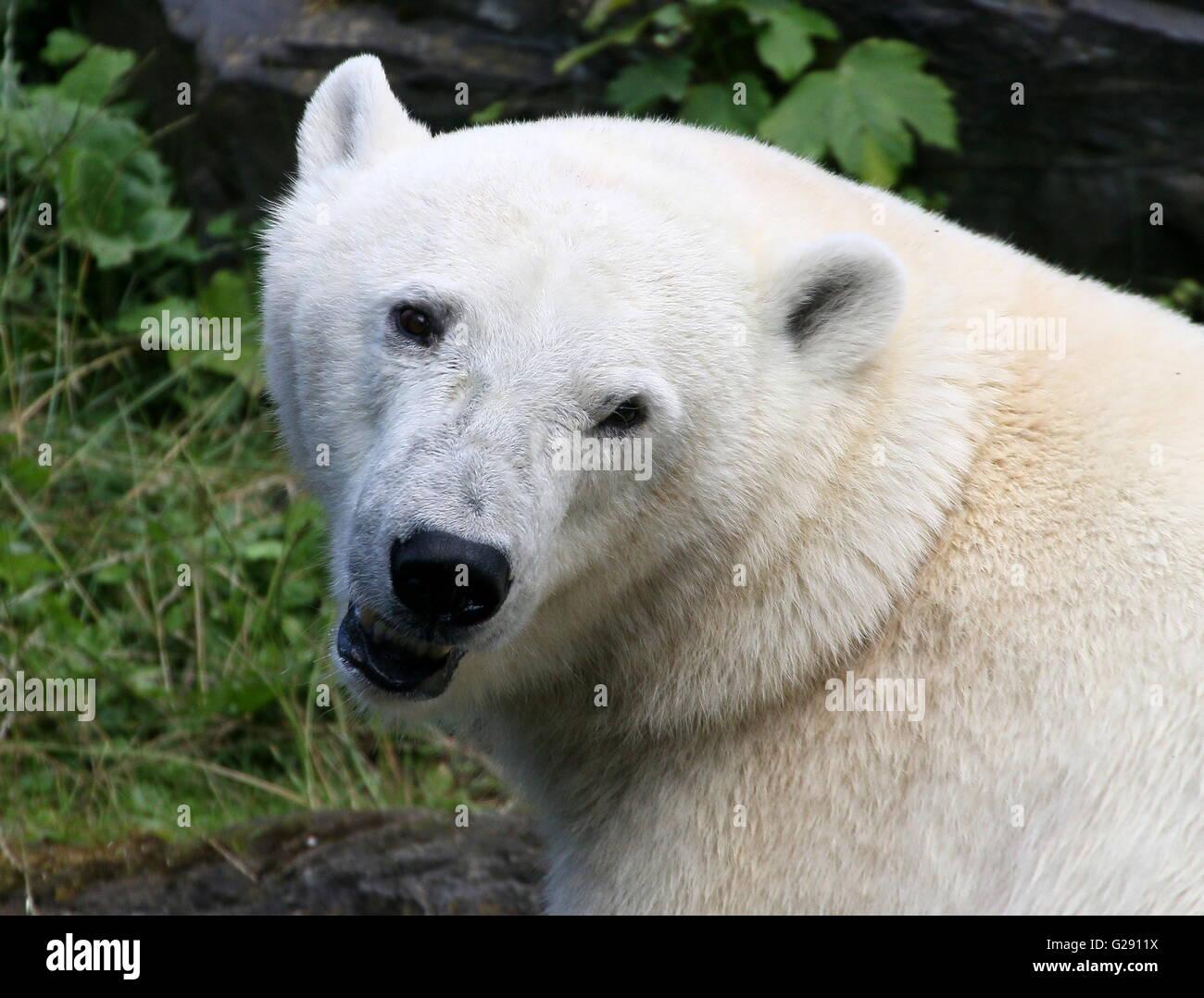 Cheeky female polar bear (Ursus maritimus) closeup of the head - Stock Image