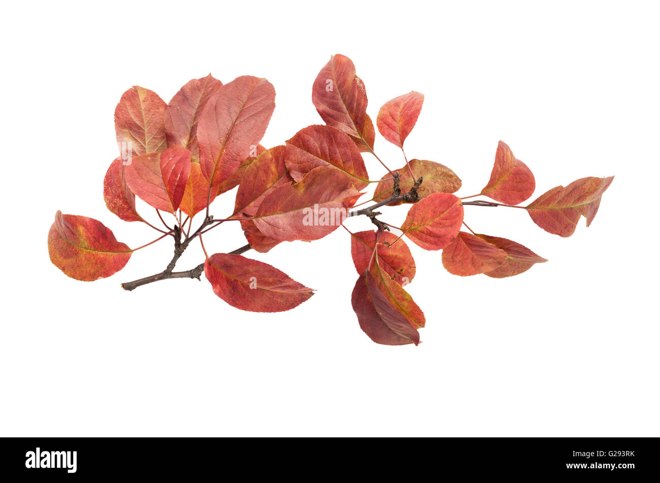 Autumn twig with red leaves isolated on white background - Stock Image