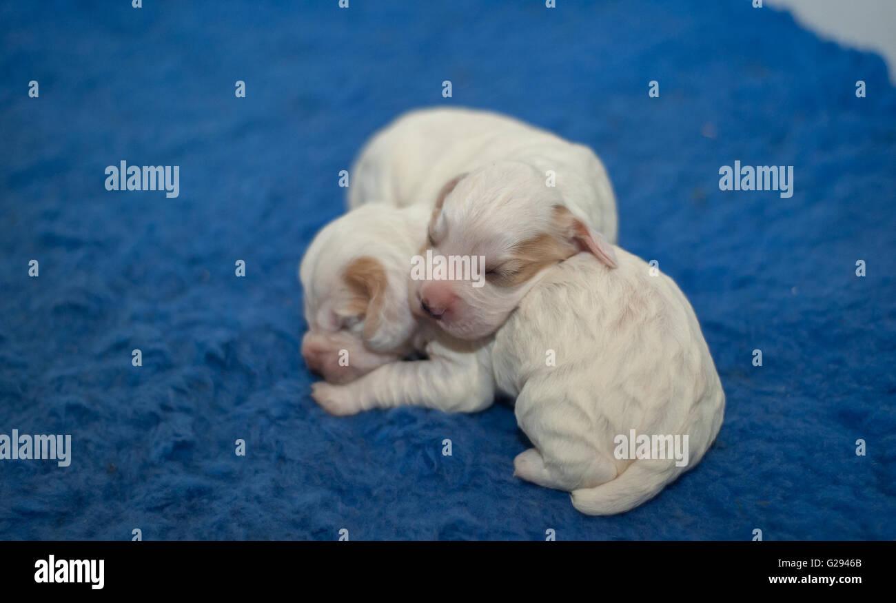 cocker spaniel pups - Stock Image