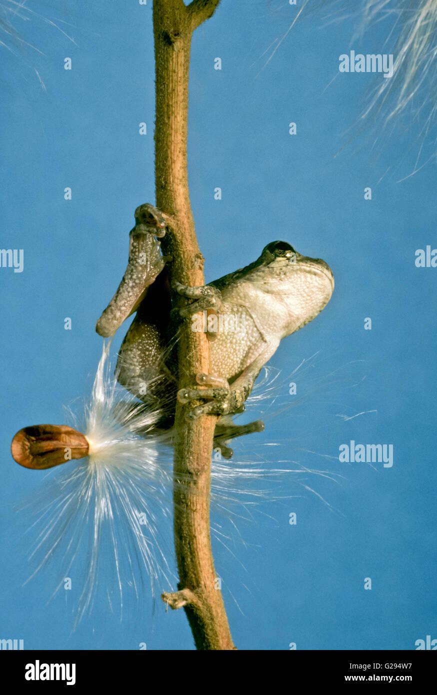 The bottom side of a tree frog, Hyla versicolor, sitting on Milkweed seeds - Stock Image