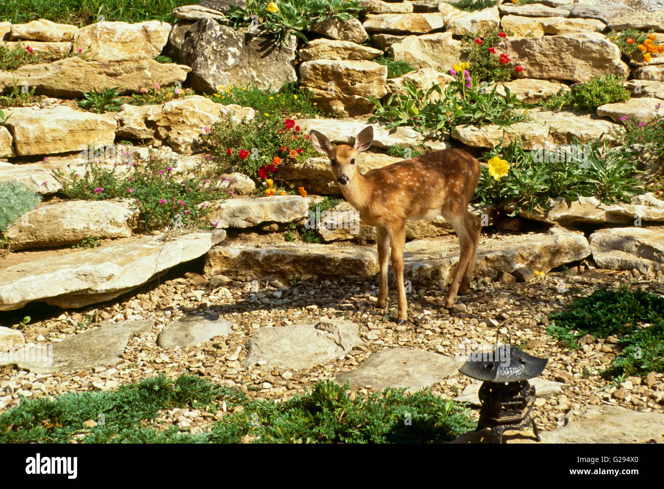 White tailed deer in landscape rock garden at home, MIssouri USA - Stock Image