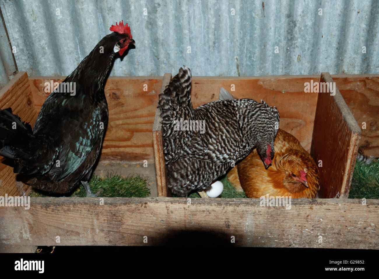 Hens laying eggs together in a hen house - Stock Image