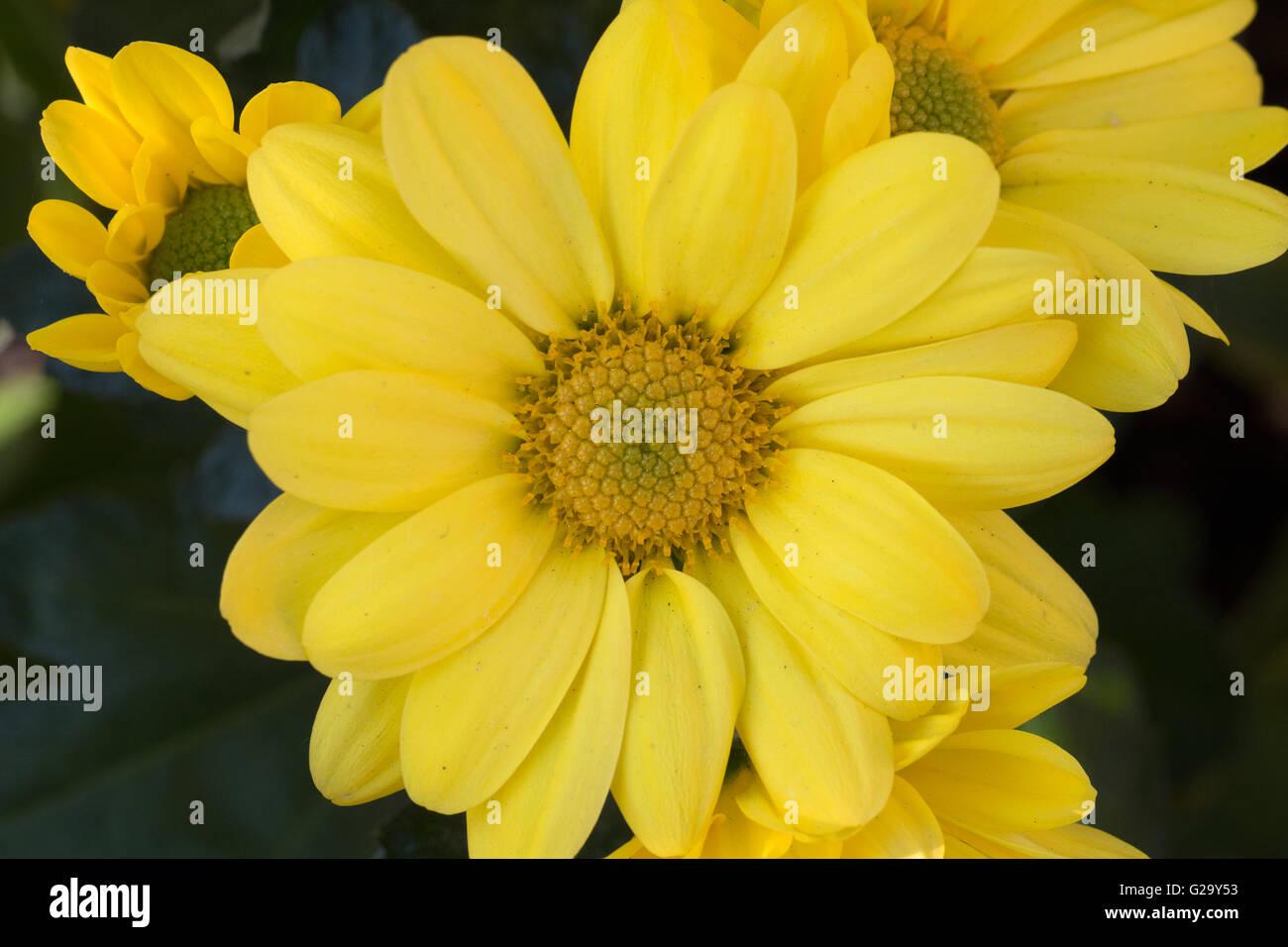 Gelbe Chrysanthemen Blüten, Makro  Yellow chrysanthemum flowers, macro - Stock Image