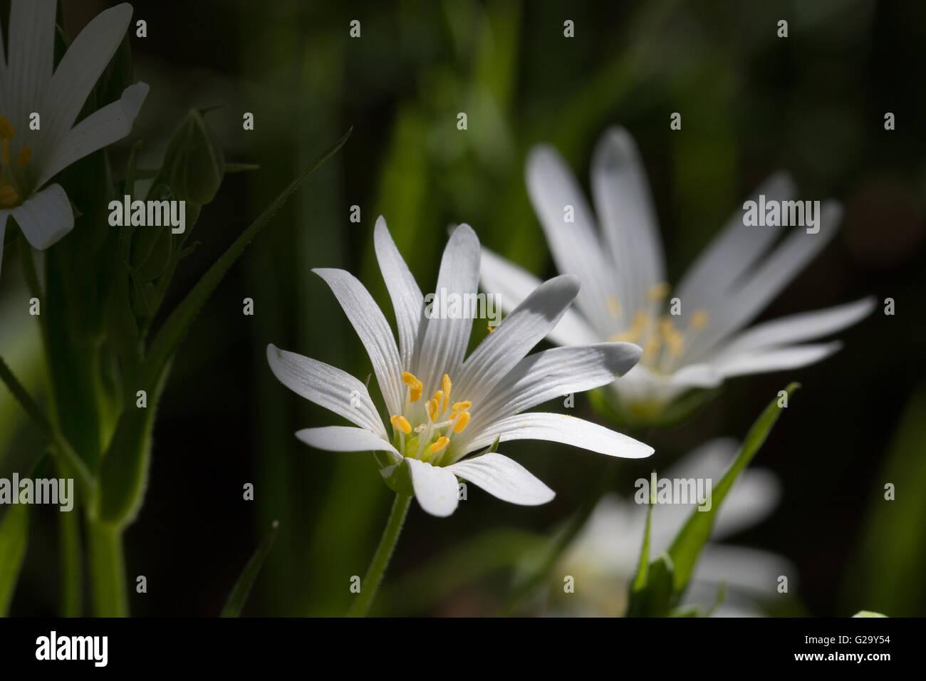 Große Sternmieren Blüte, Makro  Greater Stitchwort flower, macro - Stock Image