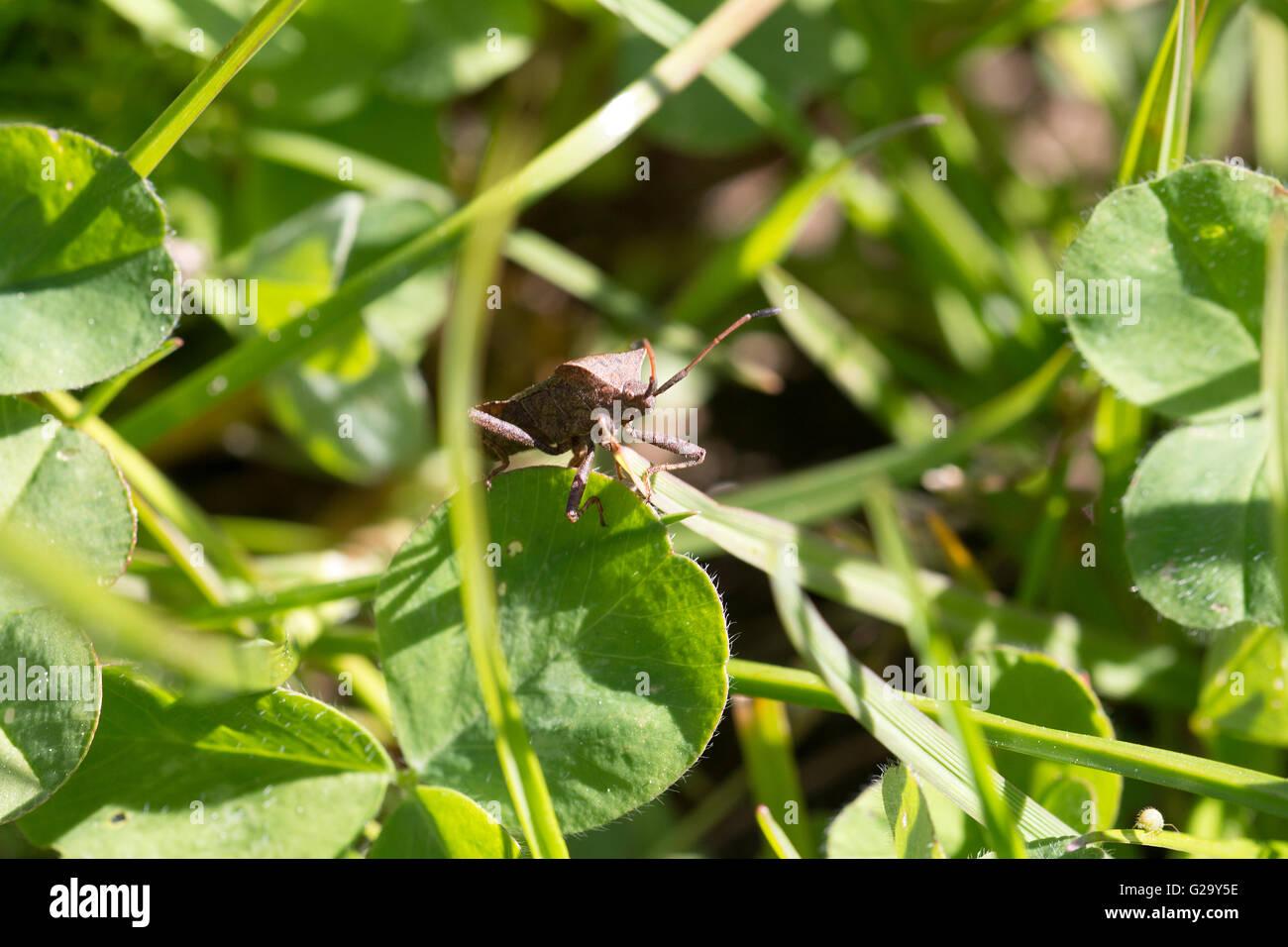 Lederwanze auf einen Blatt im Frühling  Leather bug on a leaf in spring - Stock Image