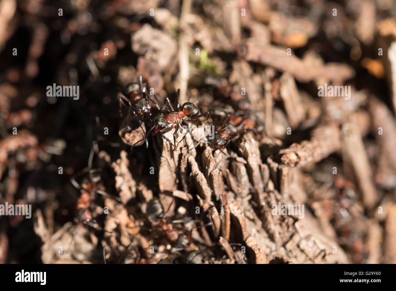 Ameisenhaufen mit Waldameisen  Anthill with forest ants - Stock Image