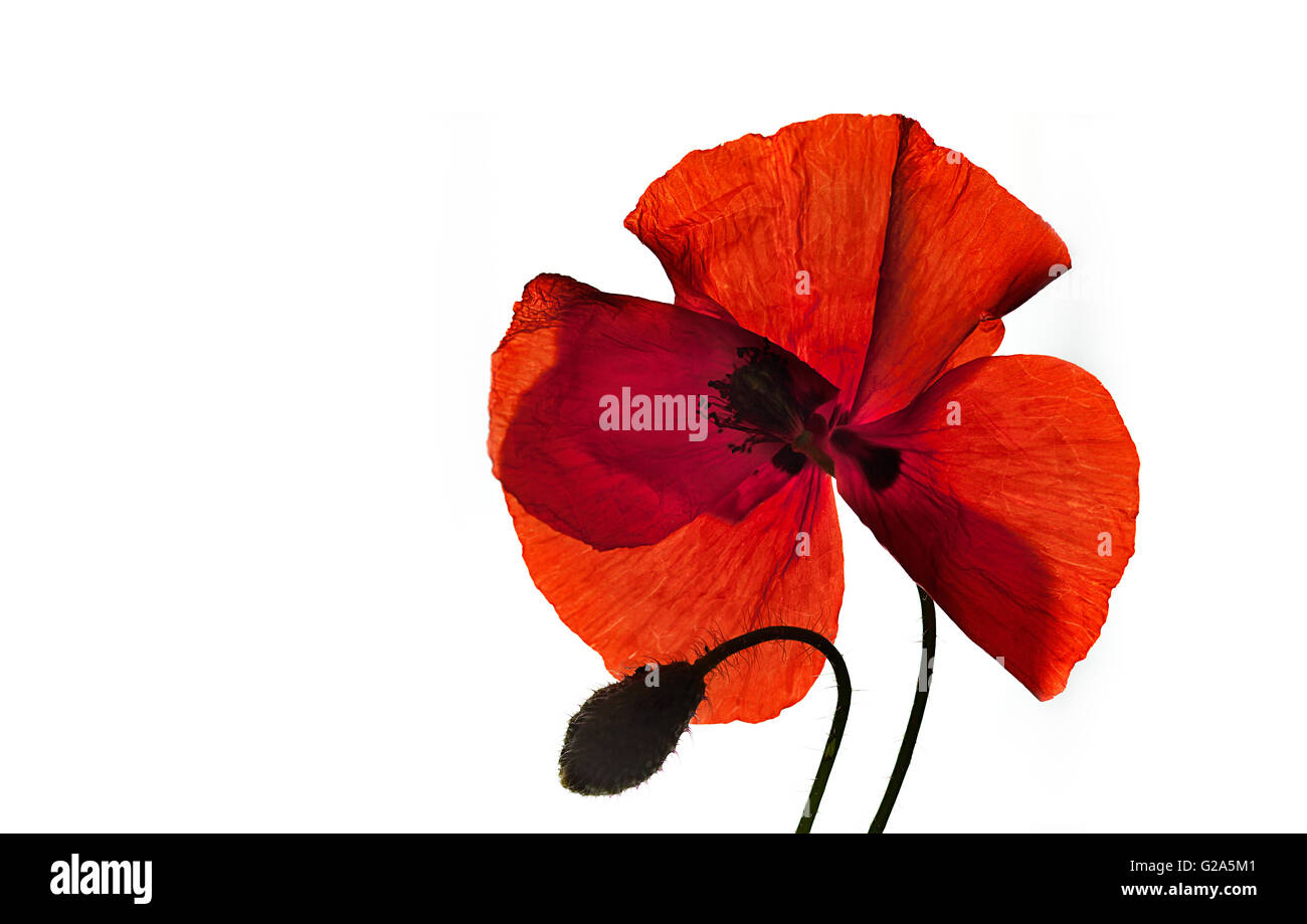 Single red corn poppy flower isolted on white - Stock Image