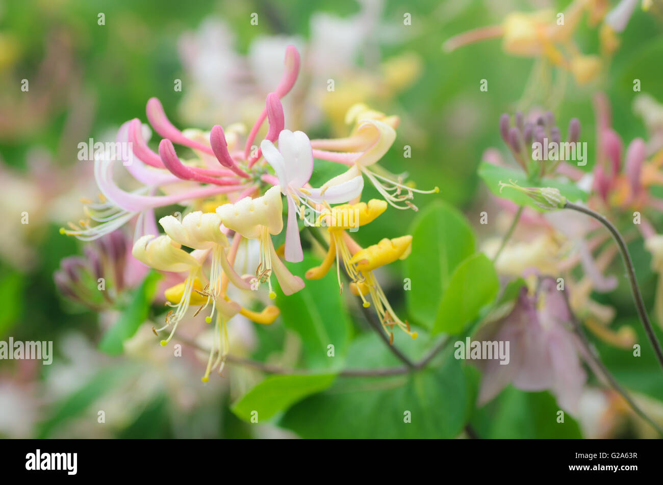 Pink Honeysuckle Flower Bloom Stock Photos Pink Honeysuckle Flower