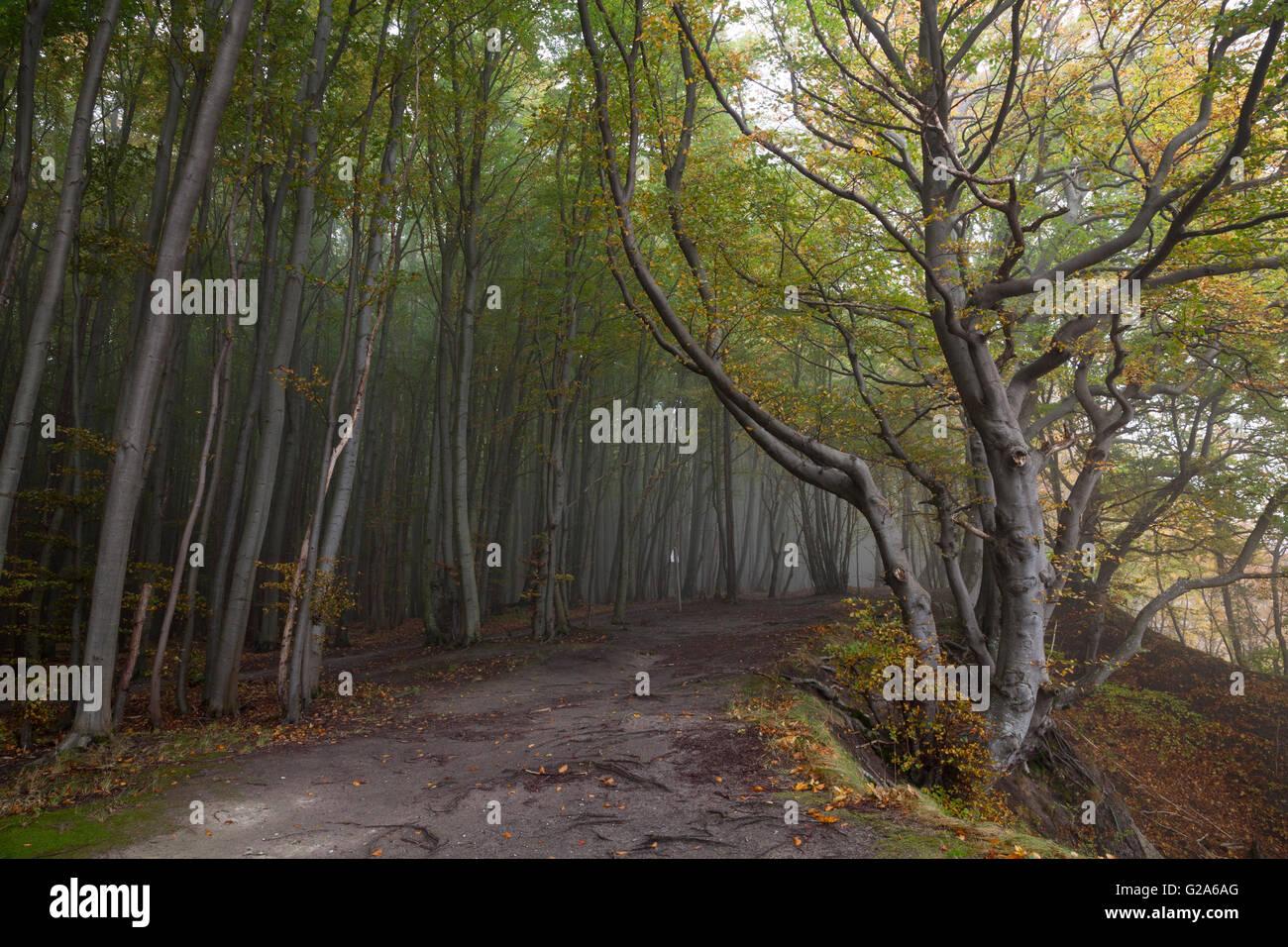 Path through the beech forest, Jasmund National Park, Rügen, Mecklenburg-Vorpommern, Germany Stock Photo