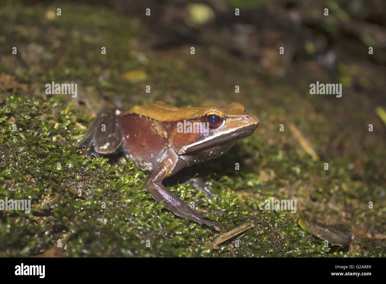 Bicolored frog or Malabar frog, Clinotarsus curtipes. Sharavathi Wildlife Sanctuary, Karnataka, India Stock Photo