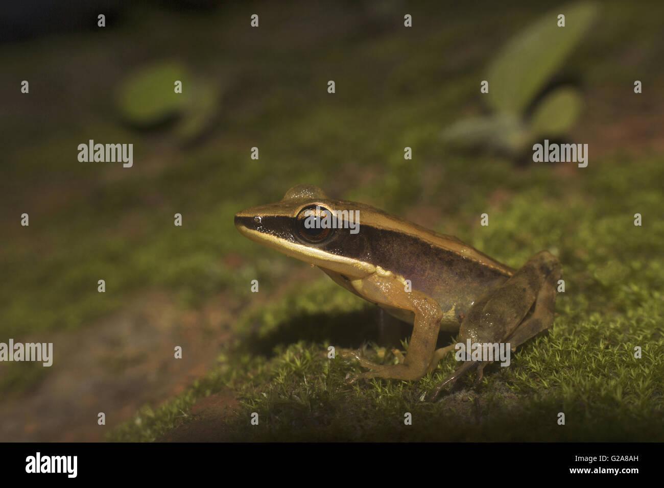 Bronzed frog, Hylarana temporalis, Sharavathi Wildlife Sanctuary, Karnataka, India - Stock Image