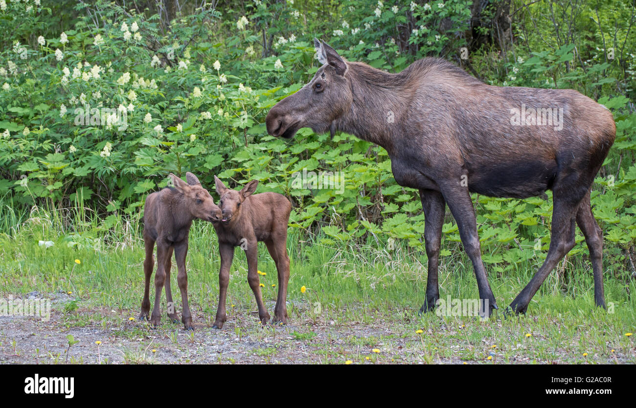 Cow moose and twin calves - Stock Image