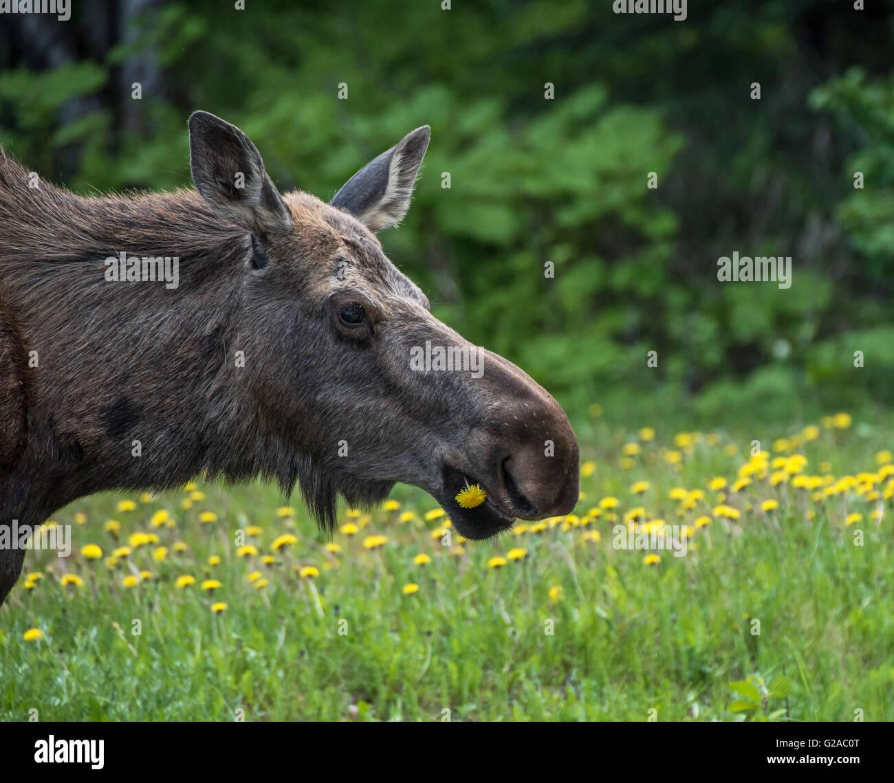Cow Moose eating Dandelions - Stock Image