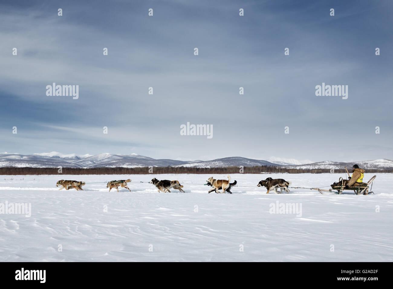 Running dog team Kamchatka musher Ivan Nivani. Traditional Kamchatka Dog Sledge Race Beringia. Russian Federation. - Stock Image