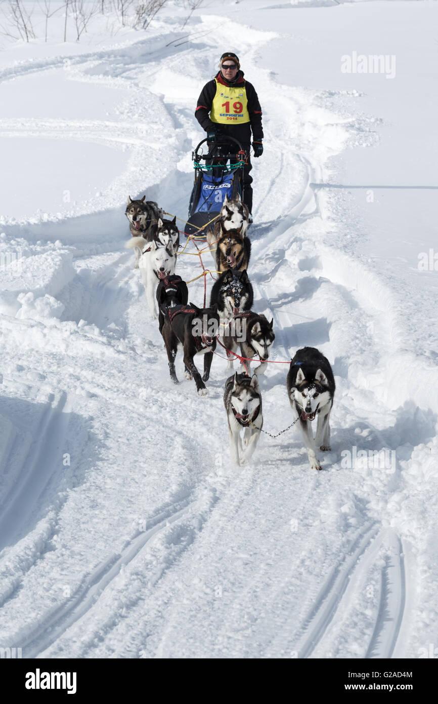 Running dog team Kamchatka musher Andrew Semashkin. Traditional Kamchatka Dog Sledge Racing Beringia. Russia, Far - Stock Image