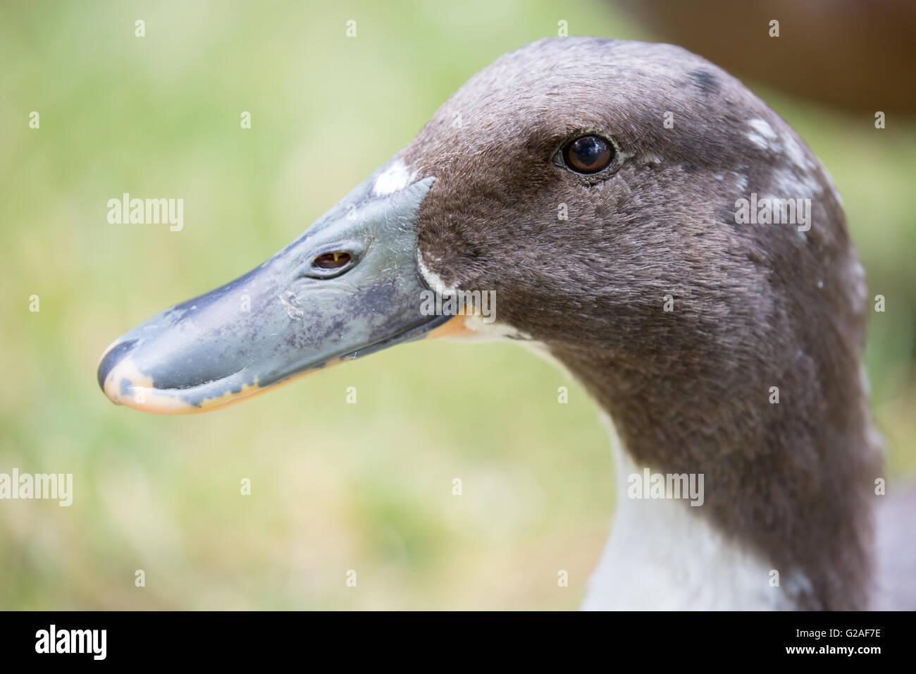Bibbed Domestic Mallard - Anas platyrhynchos, female - Stock Image