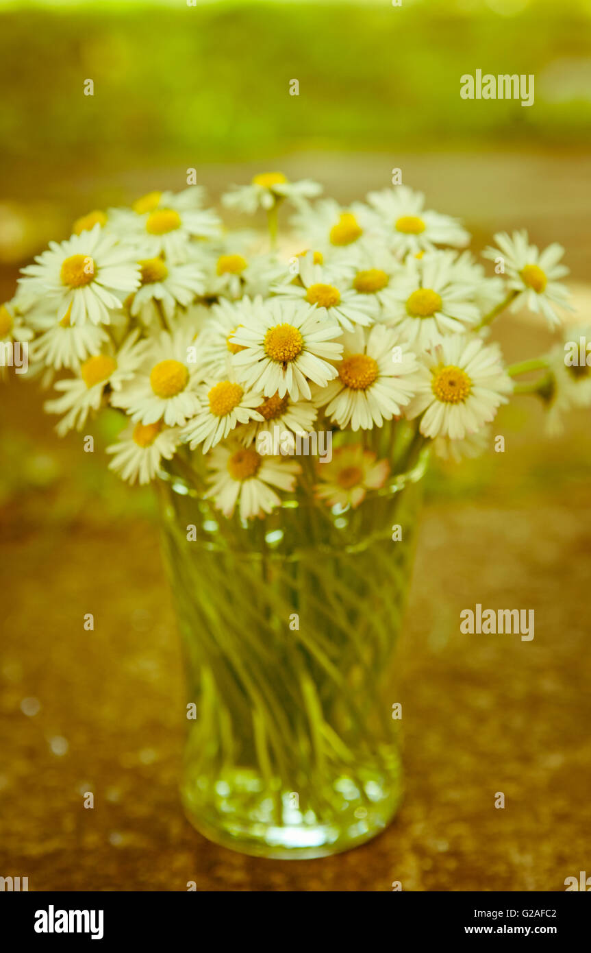 Bunch of white daisy flowers in a glass with blurred background Aster daisy  flower Asteraceae  Compositae - Stock Image