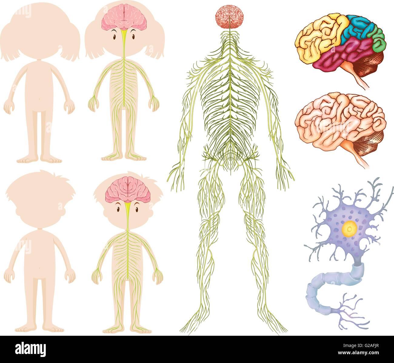 Anatomy Of Little Boy And Girl Illustration Stock Vector Art