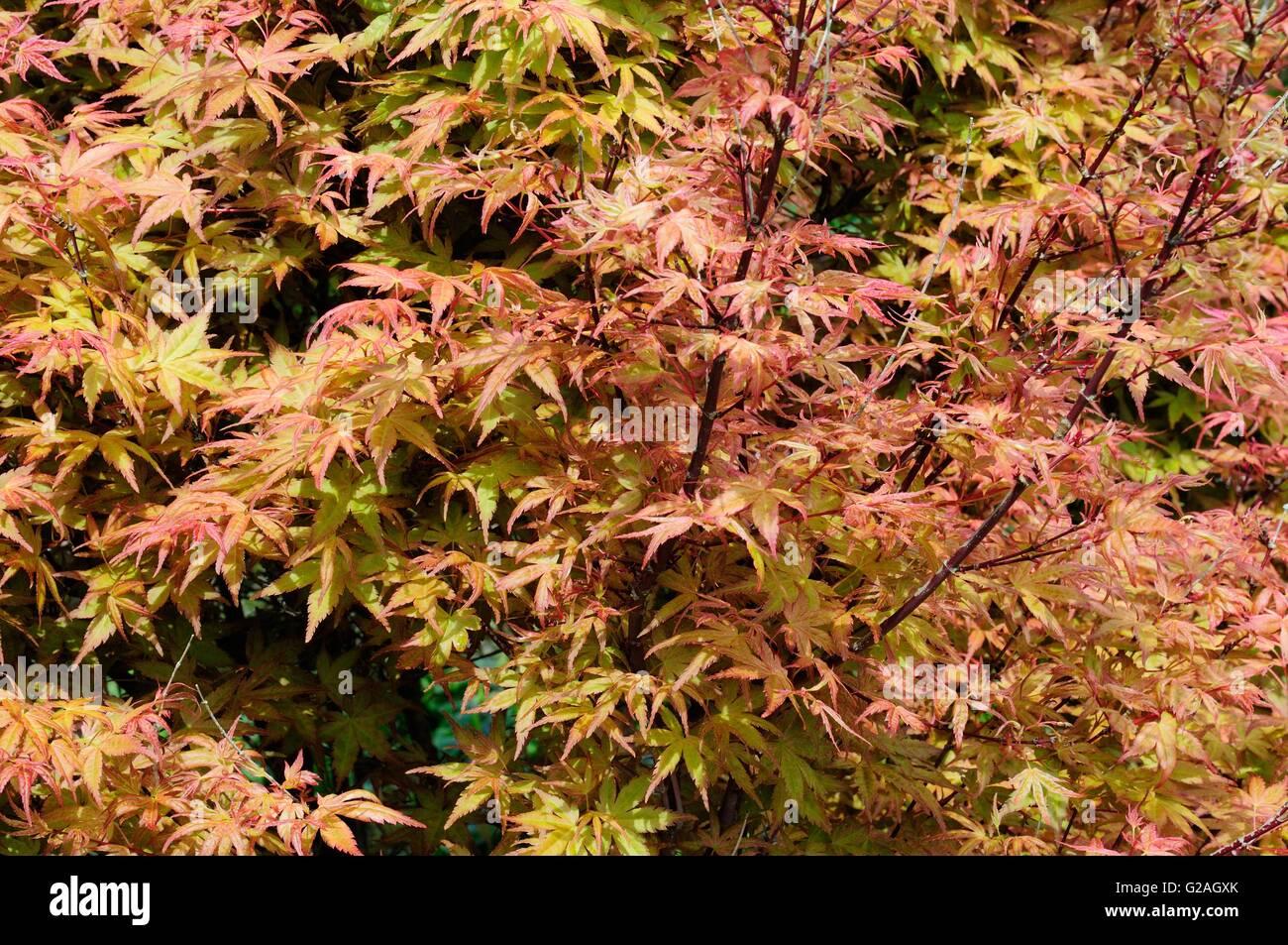 Leaves Of Acer Palmatum Tree Beni Tsukasa In Spring Stock Photo