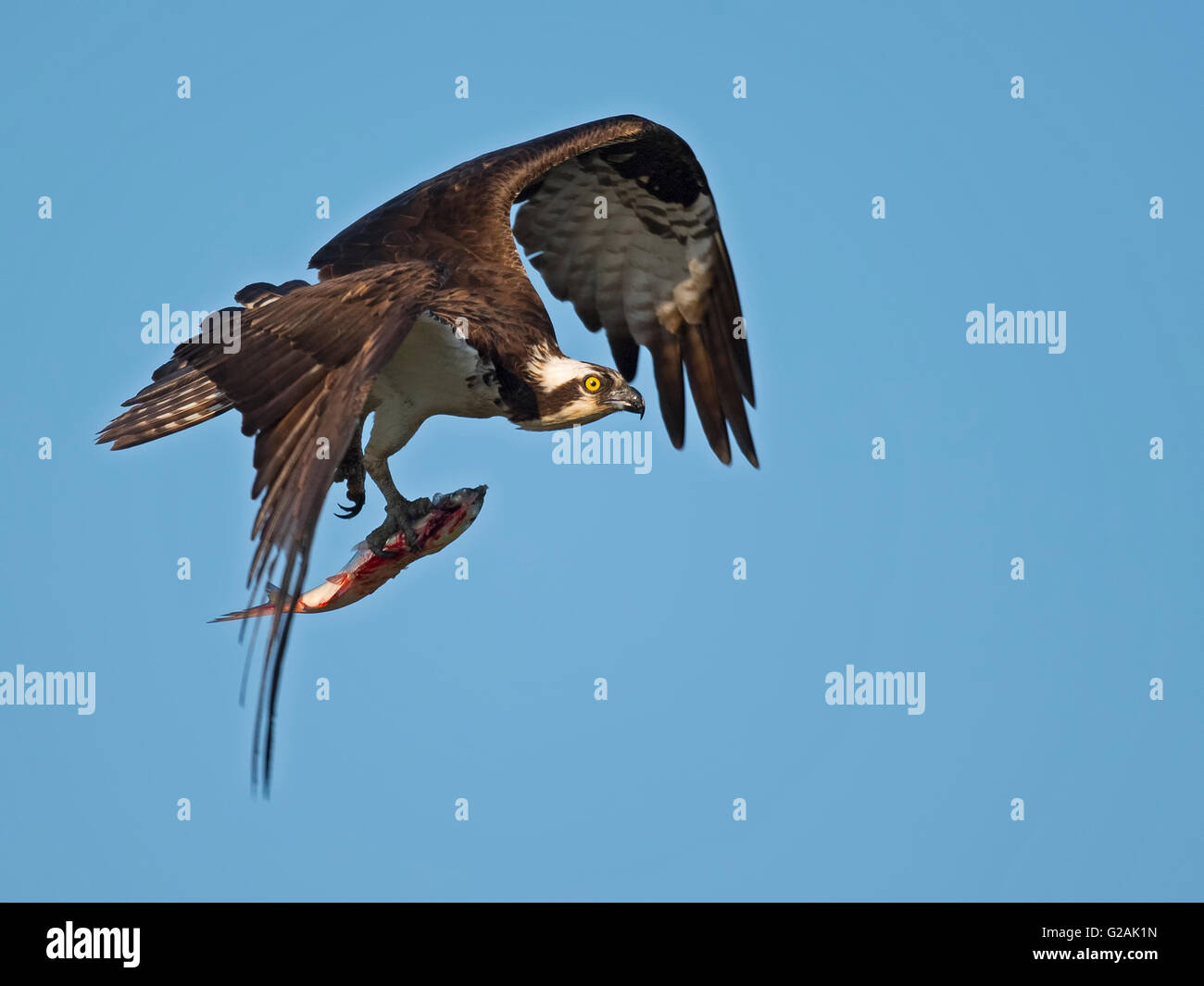 Osprey in Flight with Large Fish Stock Photo