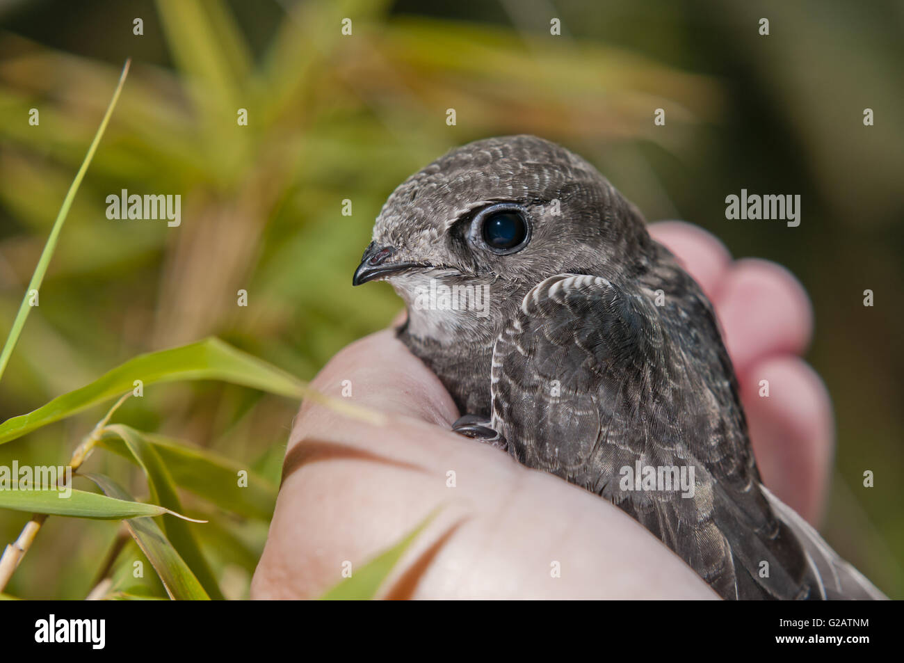 young common swift on the palm of the hand - Stock Image