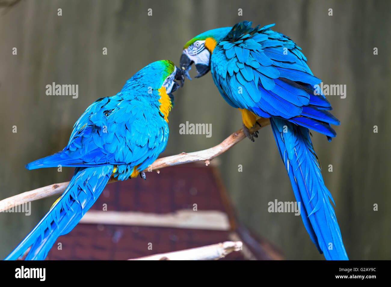 A couple of loving macaws - Stock Image