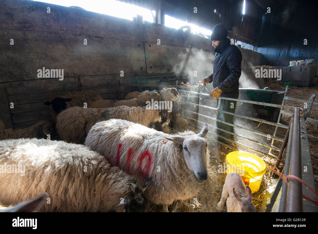 Sheep and their lambs being fed by a farmer, inside a barn on a farm in Derbyshire England UK - Stock Image