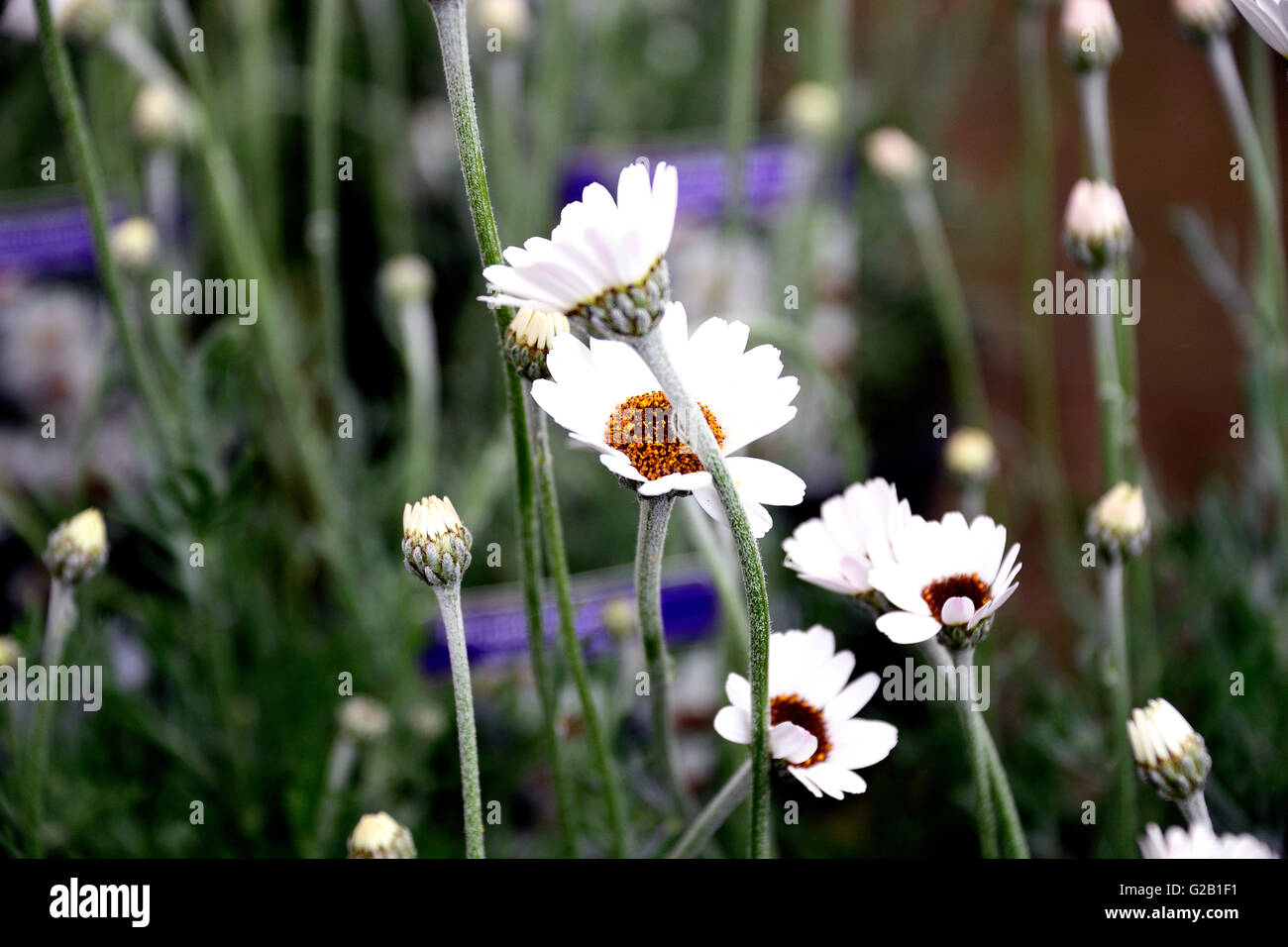 Evergreen daisies stock photos evergreen daisies stock images alamy rhodanthemum african spring an evergreen perennial which is packed with flower power all summer izmirmasajfo