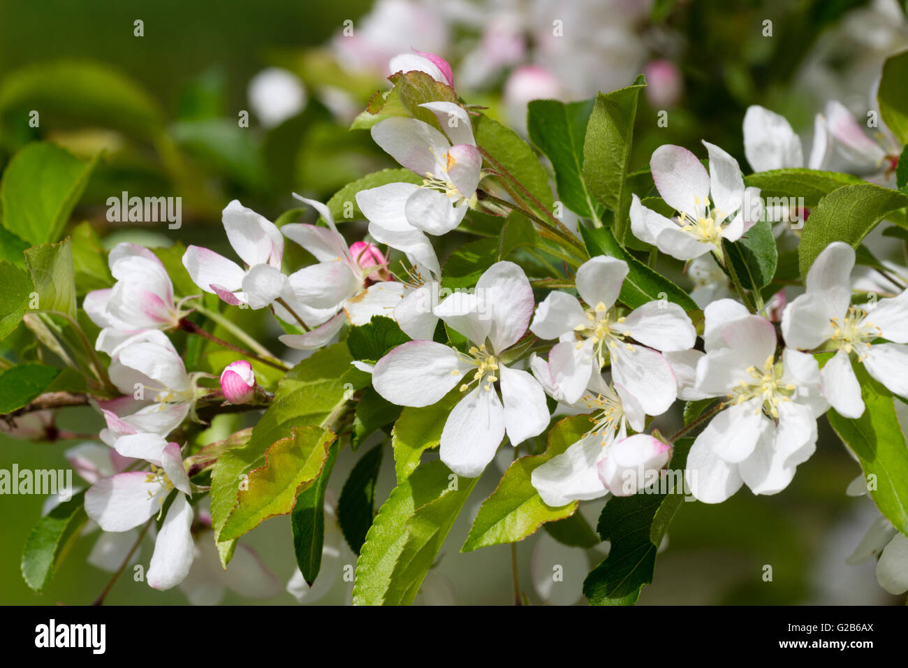 White Spring Flowers Of The Ornamental Crab Apple Tree Malus Stock