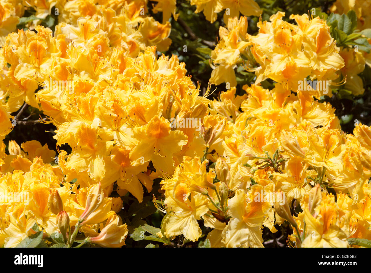 Bright Yellow And Orange Late Spring Flowers Of The Knap Hill Azalea