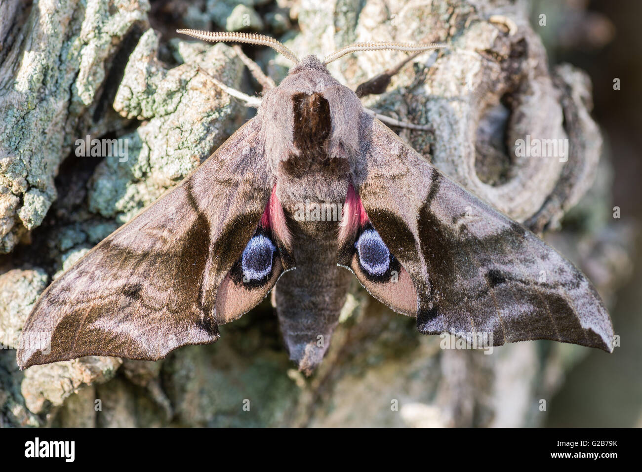 Eyed hawk-moth (Smerinthus ocellata) with hindwings. Hawk moth in family Sphingidae, showing eyes on wings to deter - Stock Image