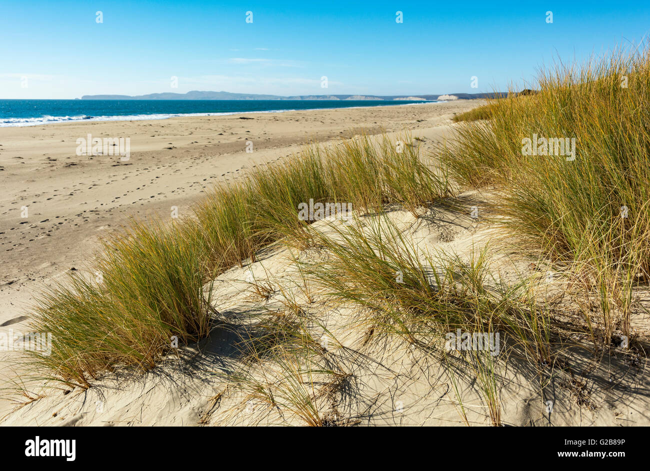 California, Point Reyes National Seashore, Limantour Beach, sand dunes, beach grass - Stock Image