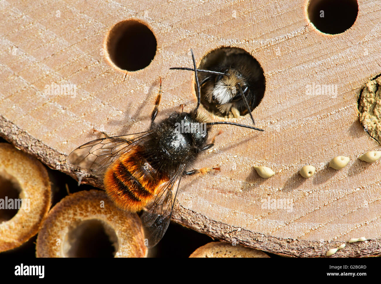 Hatching red mason bee (Osmia bicornis), familiy of Megachilidae (Megachilidae), Bee Hotel, artificial breeding - Stock Image
