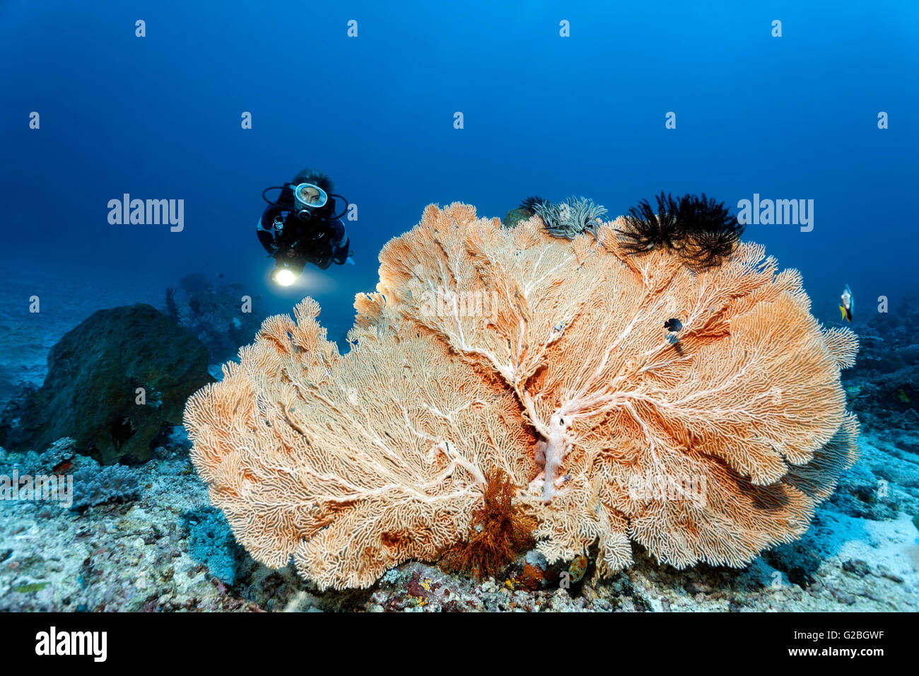 Diver and Giant Sea Fan (Annella mollis), Great Barrier Reef, Queensland, Cairns, Pacific Ocean, Australia - Stock Image