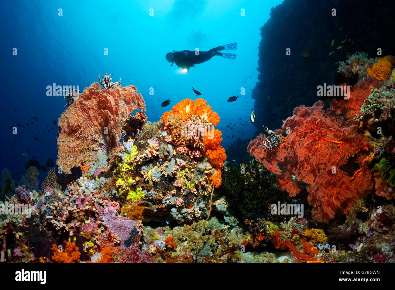 Diver near cliff, Coral reef with fish, invertebrates and corals, Great Barrier Reef, Queensland, Cairns, Pacific - Stock Image