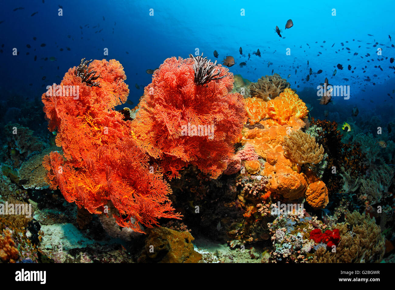 Coral colony, fish, invertebrates, stony coral, soft coral, gorgonian, sponge, sea squirt, Great Barrier Reef, Queensland - Stock Image