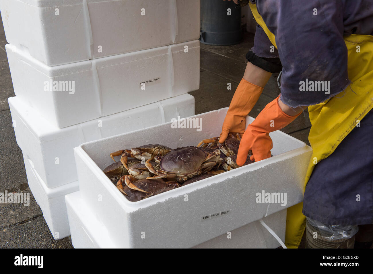 Fish monger selecting crabs from foam boxes Chinatown fish market, Vancouver City - Stock Image